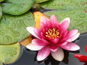 Flor de Lótus molhada