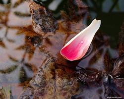 pétala de uma flor de lótus